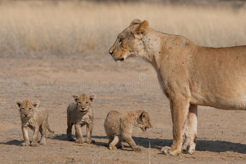 当幼童军雌狮三 图库摄影