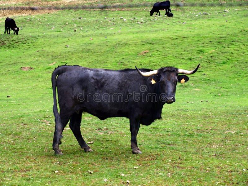 当心公牛 免版税库存图片