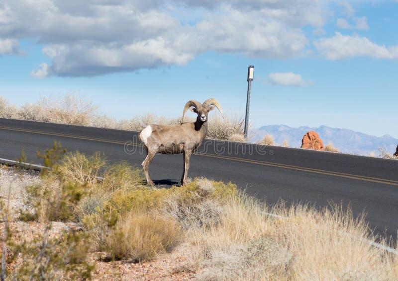 当心!在路的绵羊! 免版税库存照片