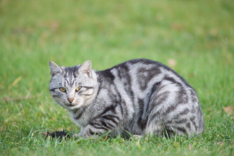当时猫,当他捉住嘴 猫和嘴 灰色小猫 免版税库存照片
