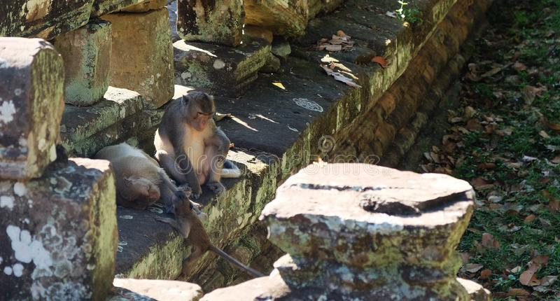 当母亲休息时,父亲照顾孩子 猴子家庭在古老废墟附近的 动物区系  库存图片