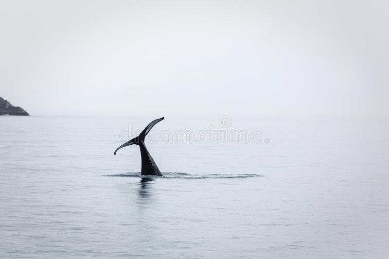当海怪或虎鲸消失,仅尾巴保持 免版税库存图片