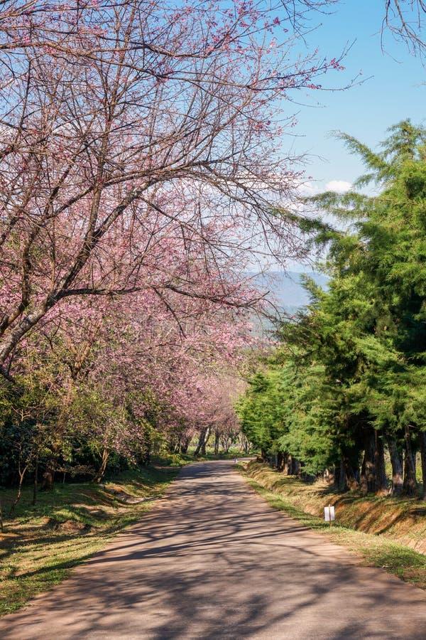 形成在路的桃红色SakuraWild喜马拉雅樱桃树一个隧道 库存照片