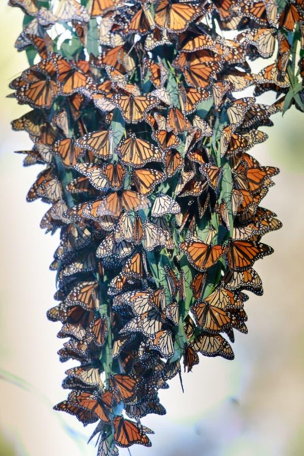 形成群的黑脉金斑蝶停留温暖在迁移时 免版税库存图片
