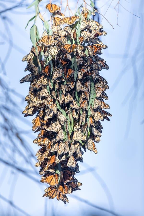 形成群的黑脉金斑蝶停留温暖在迁移时 库存图片