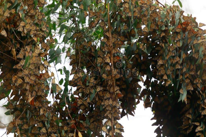 形成群的黑脉金斑蝶停留温暖 库存图片