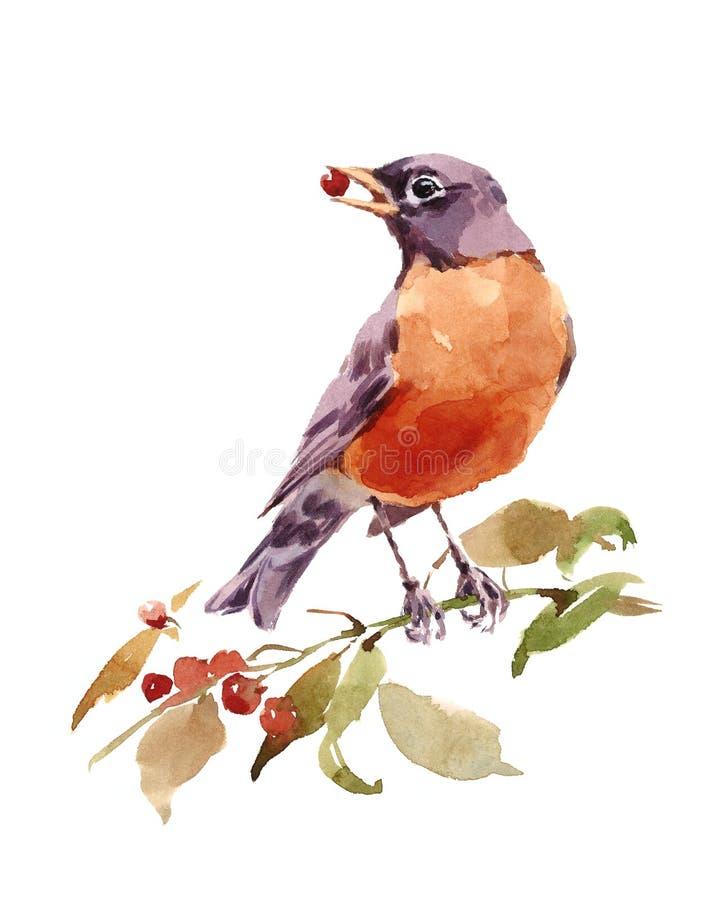 水彩分支的鸟美国人罗宾与在白色背景隔绝的莓果手画例证 向量例证