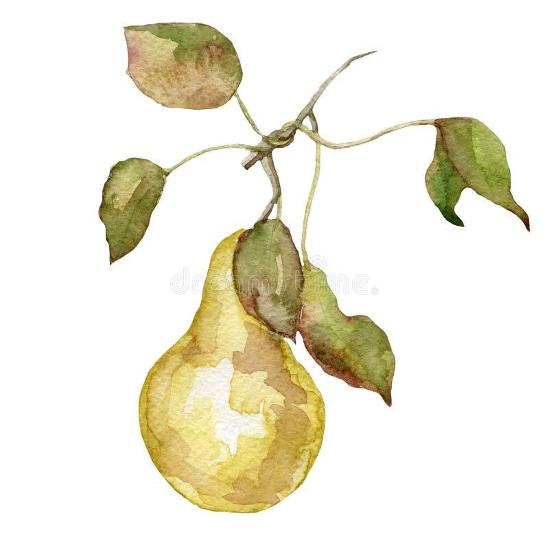 水彩在白色背景的果子梨 库存例证