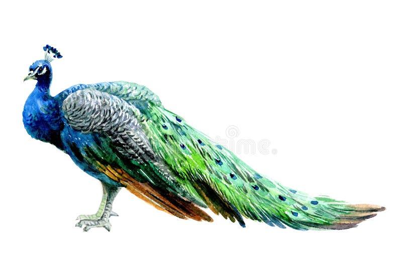 水彩在白色背景隔绝的孔雀鸟 皇族释放例证