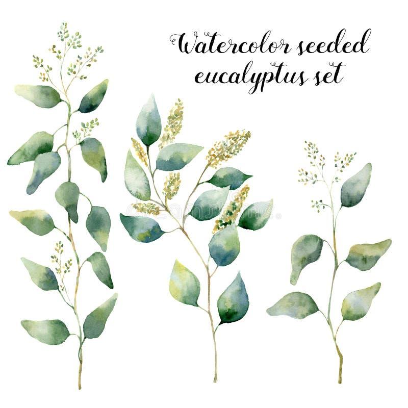 水彩播种了玉树集合 与在白色和分支的手画花卉例证隔绝的银叶 向量例证