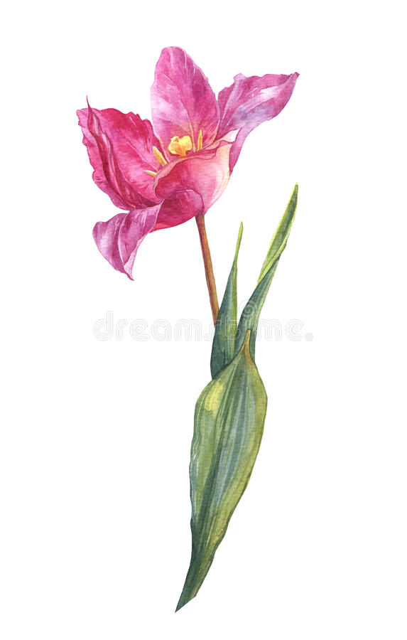 水彩春天和夏天桃红色郁金香花 免版税库存图片
