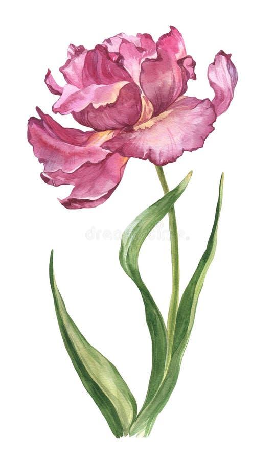 水彩春天和夏天桃红色郁金香花 免版税图库摄影
