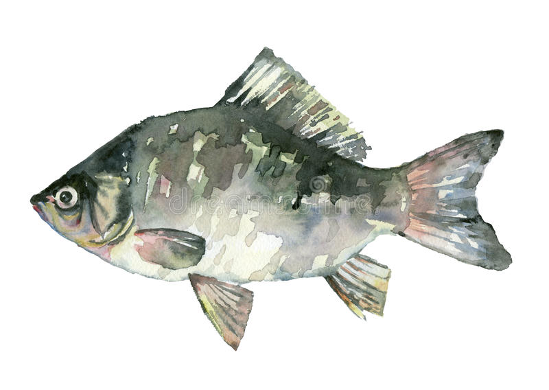 水彩淡水鱼 皇族释放例证