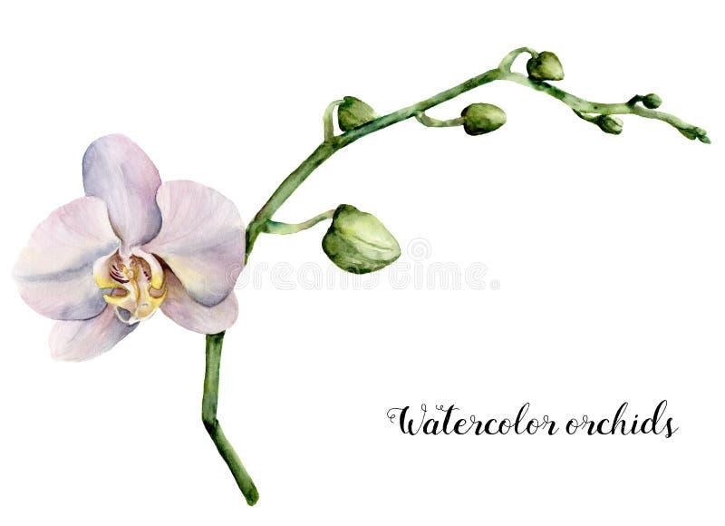 水彩白色兰花 在白色背景隔绝的手画花卉植物的例证 对设计或印刷品 皇族释放例证