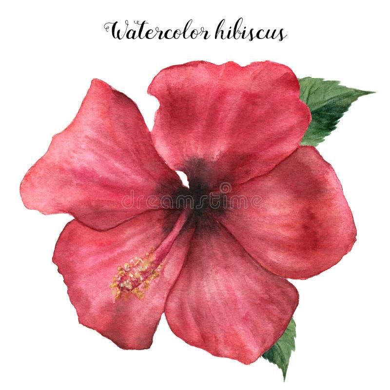 水彩红色木槿 与叶子的手画异乎寻常的花卉例证在白色背景 热带花 向量例证