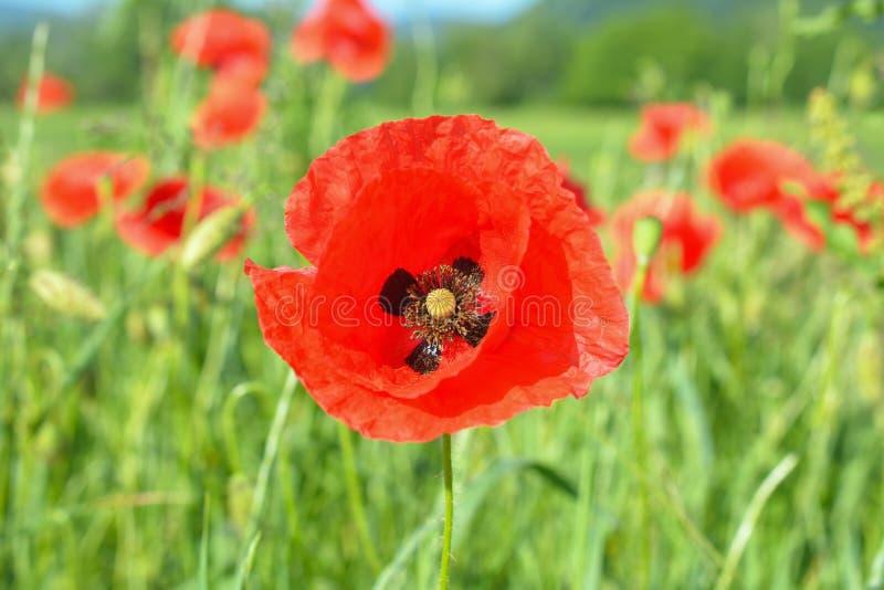 Download 彩色场印第安鸦片红色夏天 库存图片. 图片 包括有 增长, 自然, 农村, 乡下, 夏天, 浪漫, 场面 - 72362631