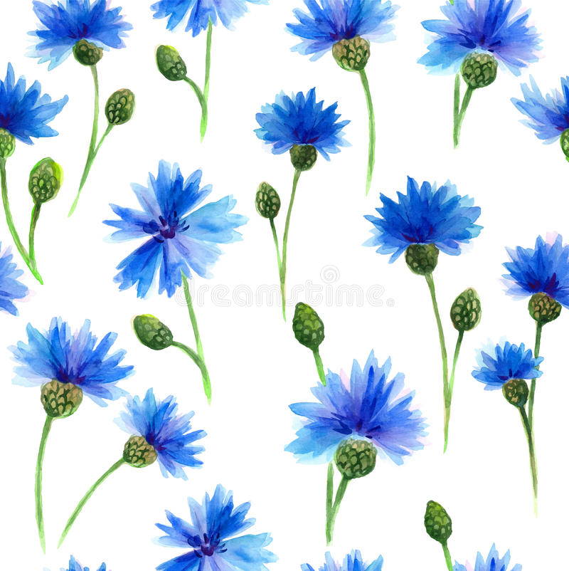 水彩蓝色矢车菊在白色背景中 水彩绘 背景细部图花卉向量 皇族释放例证