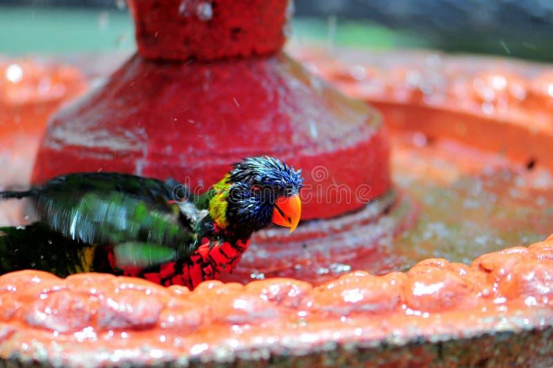 彩虹享受浴的Lorikeet鸟 免版税图库摄影