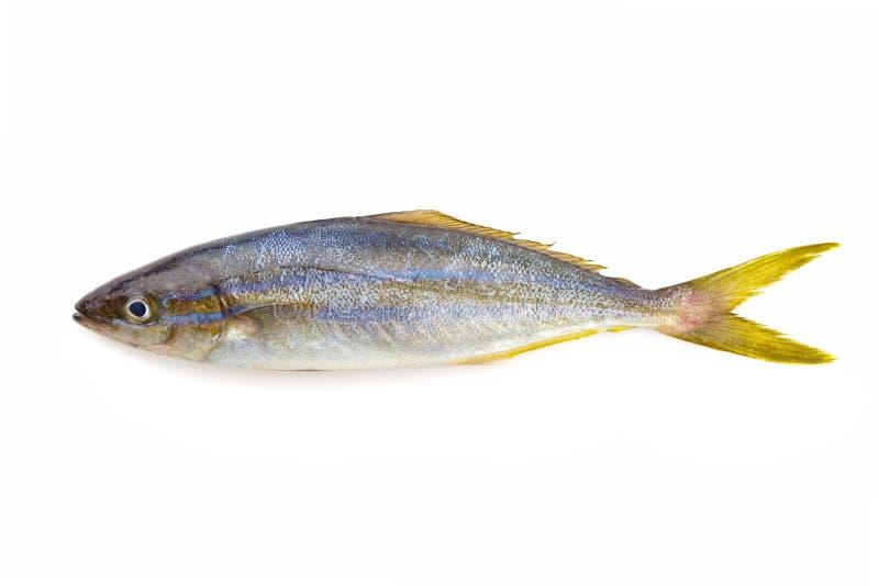 彩虹在白色背景隔绝的赛跑者鱼 库存照片