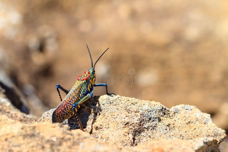 彩虹布什蝗虫 库存图片