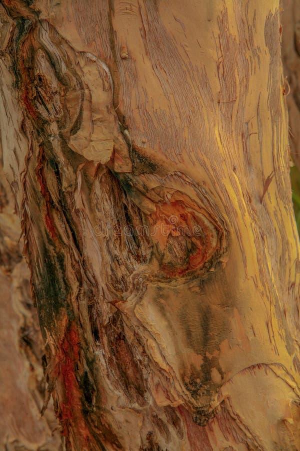彩虹树皮或玉树deglupta树 库存图片