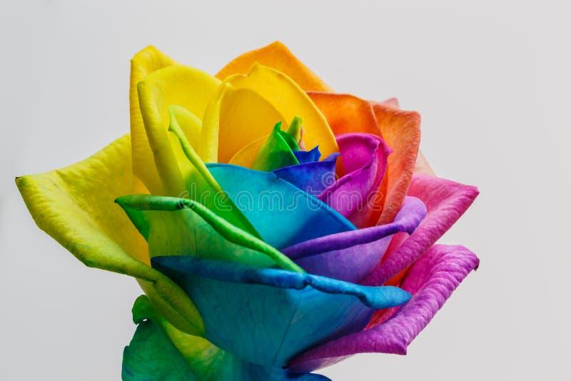 彩虹玫瑰色花和多颜色瓣宏指令  被隔绝的o 免版税库存图片