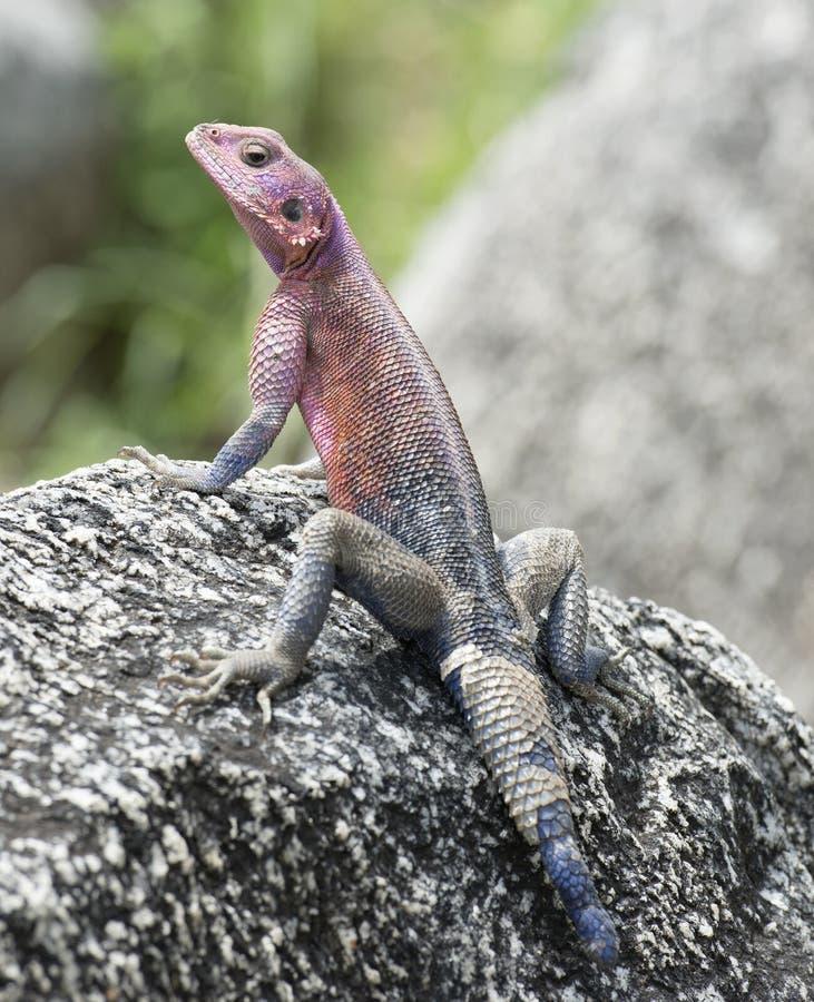 彩虹蜥蜴 免版税库存照片