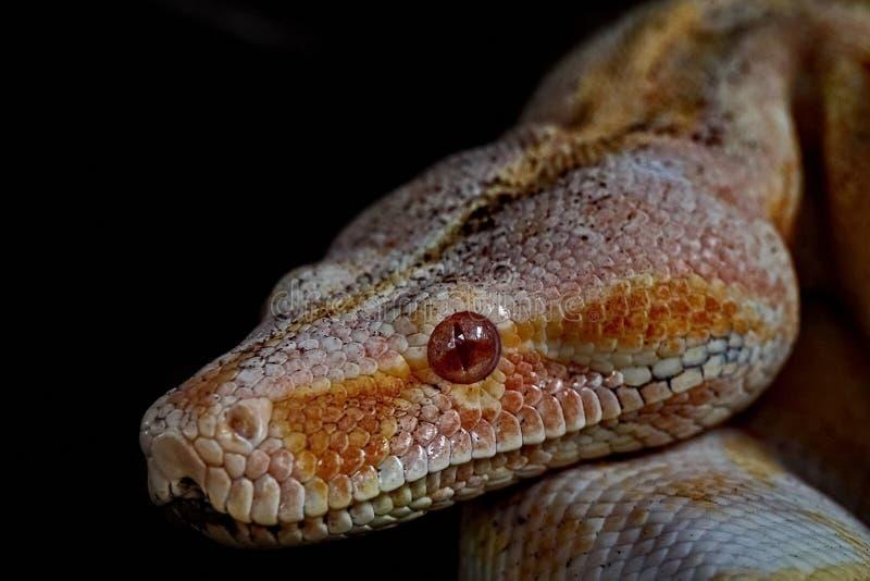 彩虹蟒蛇 南美大蟒蛇Epicrates cenchria 一个地球种类 图库摄影
