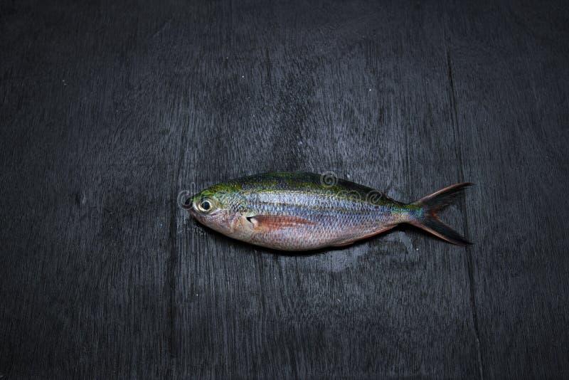 彩虹赛跑者鱼 库存照片
