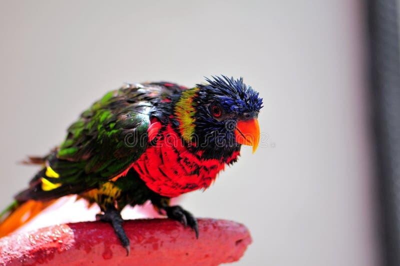 彩虹Lorikeet鸟所有湿在浴以后 库存照片