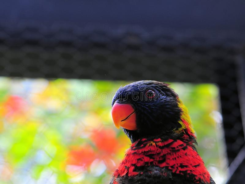 彩虹Lorikeet鸟,佛罗里达 免版税图库摄影