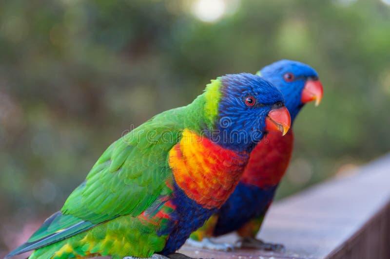 彩虹lorikeet鹦鹉画象的鸟关闭 免版税库存照片