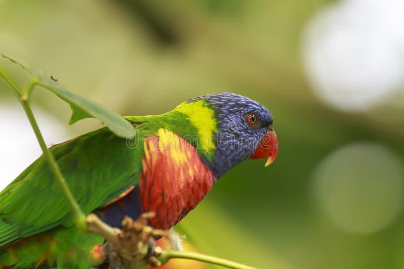 彩虹lorikeet Trichoglossus moluccanus鸟的画象我 库存图片