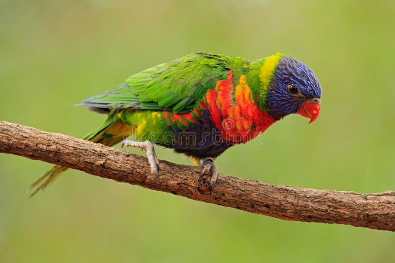彩虹Lorikeets Trichoglossus haematodus,五颜六色的鹦鹉坐分支,动物在自然栖所,澳大利亚 蓝色, 库存照片