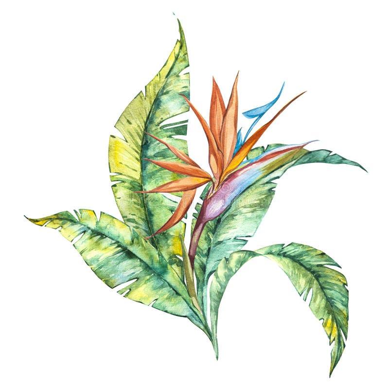 水彩隔绝了鹤望兰reginae和叶子,在白色背景的热带花构成的例证 皇族释放例证