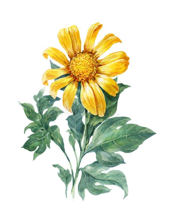 水彩黄色例证绘画,花,向日葵 皇族释放例证