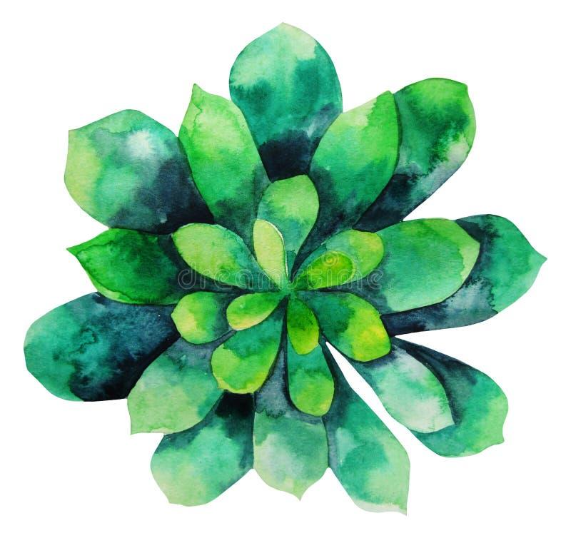 水彩绿色多汁植物 向量例证
