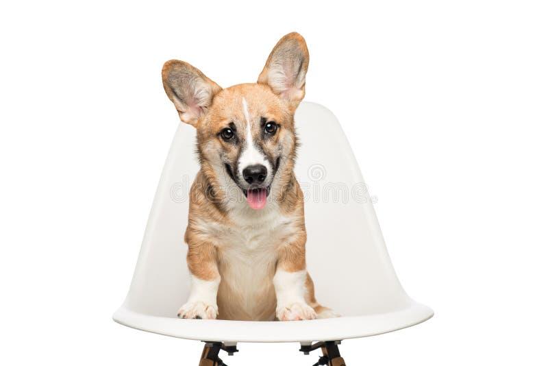 彭布罗克角威尔士小狗小狗坐椅子 查看照相机 免版税库存照片