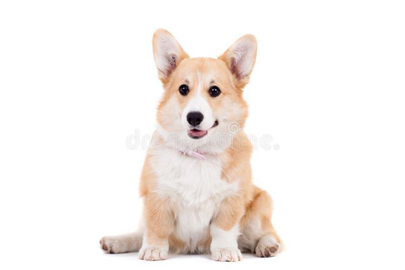 彭布罗克角威尔士小狗小狗 免版税库存照片