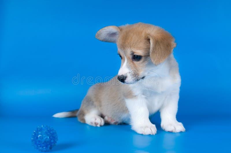 彭布罗克角威尔士小狗小狗 库存照片