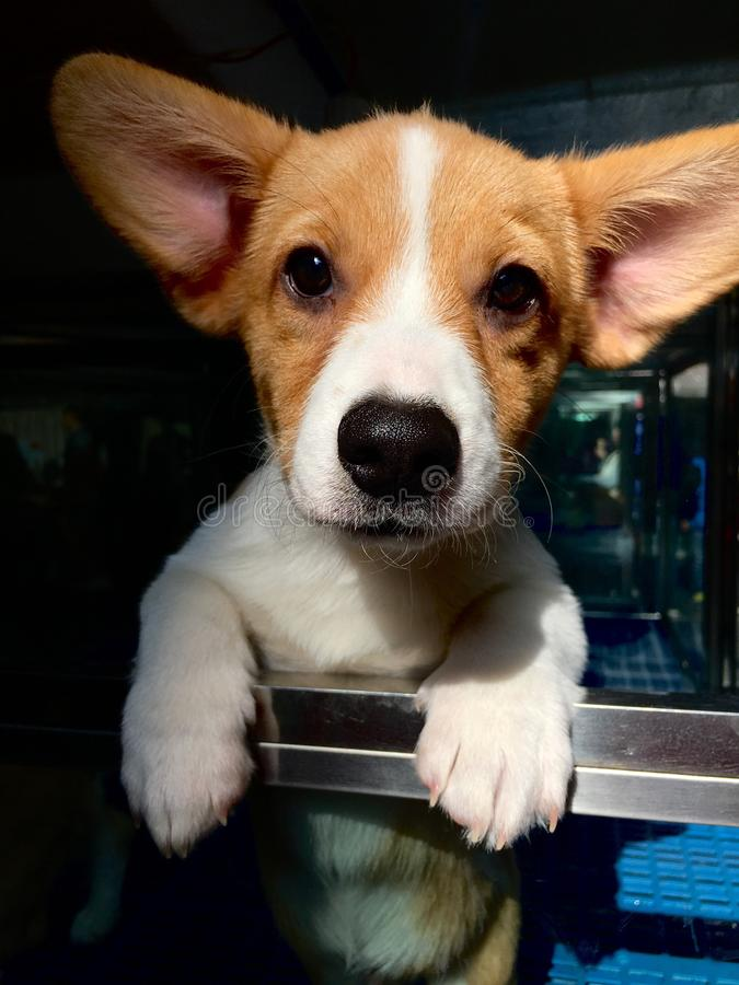 彭布罗克角威尔士小狗 图库摄影