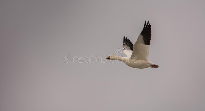往北极的雪雁飞行 库存图片