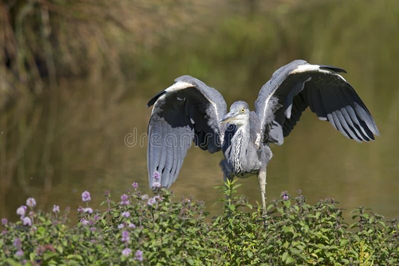 往照相机的一次灰色苍鹭Ardea灰质的着陆 库存照片