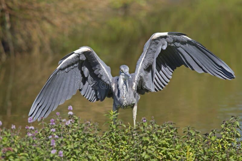 往照相机的一次灰色苍鹭Ardea灰质的着陆 免版税库存照片