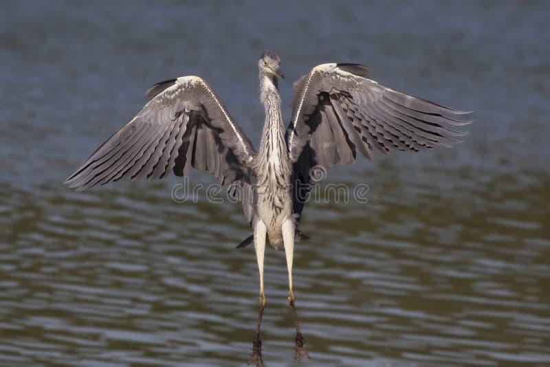 往照相机的一次灰色苍鹭Ardea灰质的着陆 库存图片