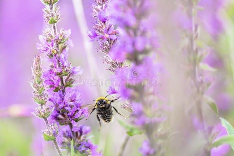 往照相机的土蜂飞行在紫色花之间 免版税库存照片