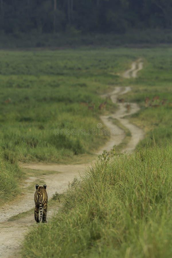 往被察觉的鹿的Tigerwalking在草原 库存照片