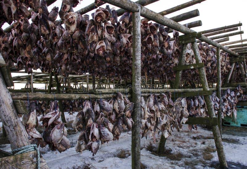 很多大鱼在木制支撑被烘干在露天下 免版税库存图片
