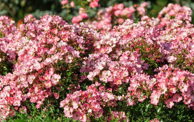 很多小桃红色玫瑰在低厚实的灌木增长 免版税图库摄影