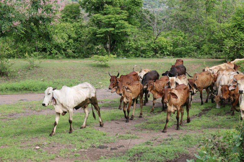 很多牛,母牛,母牛群亚洲步行在森林农厂乡下 免版税图库摄影
